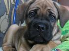 Просмотреть фотографию Вязка собак вязка бульмастиф мальчик три года 68231149 в Подольске