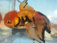 золотые рыбки продам аквариумных рыбок местного разведения  большой ассортимент
