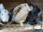 Свежее фото  Продаю кроликов, 33739300 в Раменском