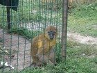 Уникальное фото  Продаются обезьяны : золотой мангобей и болотная мартышка 34460508 в Рязани