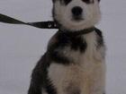 Фотография в   Продам щенков сибирской Хаски, чистокровные. в Рязани 6000