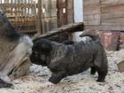 Фотография в Собаки и щенки Выставки собак г. Вологда. Продаются шикарные щенки Кавказской в Рязани 25000