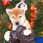 Щенки Сиба ину из питомника собак японских пород 2,5 месяца