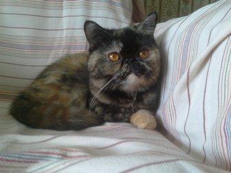 Скачать бесплатно фотографию  кошечка экзотической породы ищет котика на вязку 33267630 в Рязани