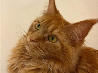Увидеть изображение  Кошечка Мейн-Кун в добрые руки 34743191 в Рязани