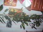 Фотография в Домашние животные Растения роза 2 метра в Россоши 1000