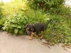 Изображение в Собаки и щенки Продажа собак, щенков Щенок 1, 5м, очень умный, все ест. Наша собачка в Ростове-на-Дону 0