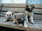 Изображение в Собаки и щенки Продажа собак, щенков Три щенка, мальчики, чистокровные дворяне в Ростове-на-Дону 0
