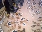 Фотография в Собаки и щенки Продажа собак, щенков Отдам в добрые руки девочку таксу 3 месяца, в Ростове-на-Дону 0