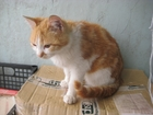 Фотография в Кошки и котята Продажа кошек и котят Рыже-белый котик, найденный в районе Стройгородка в Ростове-на-Дону 1