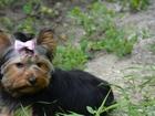 Фотография в Собаки и щенки Продажа собак, щенков Замечательная подрощенная девочка в добрые в Ростове-на-Дону 13000