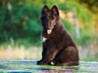 Фото в Собаки и щенки Продажа собак, щенков Предлагаются к продажи шикарные щенки Грюнендаля в Ростове-на-Дону 0