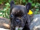 Изображение в Собаки и щенки Продажа собак, щенков Продаются очаровательные щенки французского в Ростове-на-Дону 25000