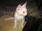 Фотография в  Отдам даром - приму в дар Отдам в добрые руки котенка белого цвета в Ростове-на-Дону 0