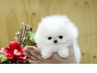 Фото в Собаки и щенки Продажа собак, щенков Предлагается к продаже очаровательный щенок в Ростове-на-Дону 10000