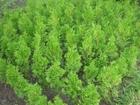 Свежее изображение Растения Туя западная колумна 4-х летка 37058996 в Ростове-на-Дону