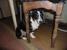 Изображение в Собаки и щенки Вязка собак Сучка 3 года. Не болели, привитая. Ищем для в Ростове-на-Дону 0