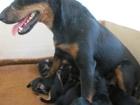 Фото в Собаки и щенки Продажа собак, щенков Продаются 9 щенков породы НОТ (7 кобелей в Ростове-на-Дону 12000