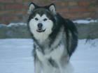 Фото в Собаки и щенки Вязка собак Аляскинский маламут, окрас волчий. Чемпион в Ростове-на-Дону 0
