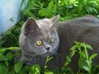 Фотография в Кошки и котята Вязка Чистокровный шотландец приглашает кошечек в Ростове-на-Дону 1500