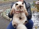 Фотография в Кошки и котята Вязка Персидская кошечка сил поинт с родословной в Ростове-на-Дону 0