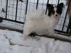 Фотография в Собаки и щенки Продажа собак, щенков продаётся девочка папильона. Наш питомник в Ростове-на-Дону 15000