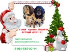 Фотография в Собаки и щенки Продажа собак, щенков Подарите себе и своим близким настоящее СЧАСТЬЕ! в Ростове-на-Дону 5000