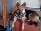 Фото в Потерянные и Найденные Найденные Найдена собака. Берберовка в роще возле парка в Ростове-на-Дону 0