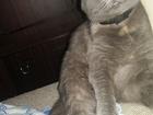 Смотреть фотографию  Ищу кота Скоттишь Страйт 38282214 в Ростове-на-Дону