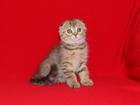 Фото в   Николь - замечательная девочка скоттиш-фолд в Ростове-на-Дону 15000