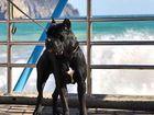 Свежее фотографию Вязка собак кобель кане корсо импорт 38545917 в Ростове-на-Дону