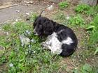 Новое фото Найденные Найдена собака спаниель! 38880260 в Ростове-на-Дону