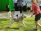 Скачать фотографию Вязка собак Ищем невесту сибирской хаски 39091477 в Ростове-на-Дону