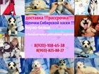 Сибирский хаски фото в Ростове-на-Дону