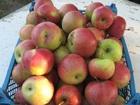 Просмотреть фотографию  яблоки оптом, Зеленое (синап), красное (беркутовка) 42468234 в Ростове-на-Дону