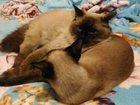 Свежее фотографию Вязка кошек вязка с опытным невским-маскарадным 66465817 в Ростове-на-Дону