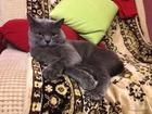 Новое фотографию Вязка кошек Чистокровный британец ждет даму 68168450 в Ростове-на-Дону