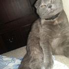 Ищу кота Скоттиш Страйт