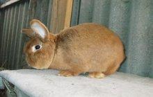 Продаю кроликов мясной породы