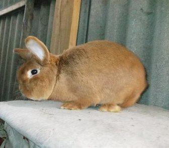 Фото в Домашние животные Грызуны Продаю кроликов мясной породы   Новозеландская в Ростове-на-Дону 250