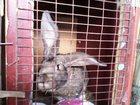 Изображение в Отдам даром - Приму в дар Обмен - поменяю обменяю крола ризина 8 мес. 6. 300кг. на в Рубцовске 0