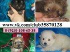 Изображение в Собаки и щенки Продажа собак, щенков Померанского шпица симпатичные очаровательные в Рыбинске 0