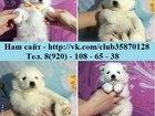 Фотография в Собаки и щенки Продажа собак, щенков Продаются добротные, красивые щенки - самоедики! в Рыбинске 0