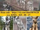 Изображение в Собаки и щенки Продажа собак, щенков Продам изумительных щеночков аляскинсокго в Рыбинске 5000