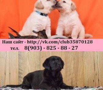 Фото в Собаки и щенки Продажа собак, щенков Продам по минимальным ценам щеночков лабрадора! в Рыбинске 0