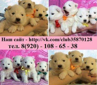Фотография в Собаки и щенки Продажа собак, щенков продам белоснежных щеночков самоедской лайки! в Рыбинске 0
