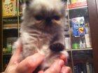 Фото в Кошки и котята Продажа кошек и котят Персидские котята окраса колор-пойнт блю-пойнт в Самаре 2500