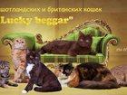 Фото в Кошки и котята Продажа кошек и котят В питомнике шотландских кошек «Lucky beggar» в Самаре 20000