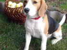 Просмотреть foto Услуги для животных Предложение о вязке 37883557 в Самаре