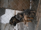 Увидеть foto  Отдам даром щенков немецкой овчарки, 38830376 в Кинели